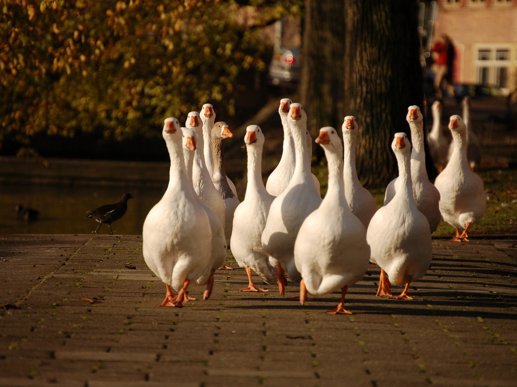 ducks in amsterdam